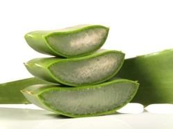 aloe-vera-pflanze1