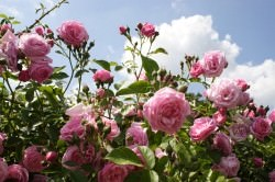 der-rosengarten-2