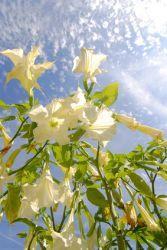 agave-oleander-engelstrompete